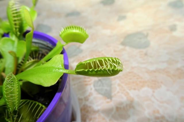 食虫植物5.JPG