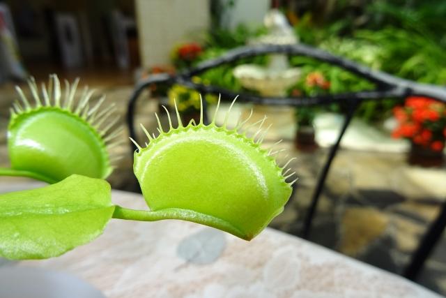 食虫植物6.JPG