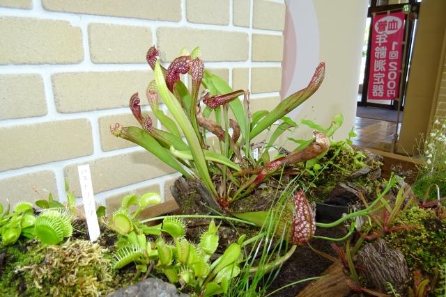 食虫植物8.JPG