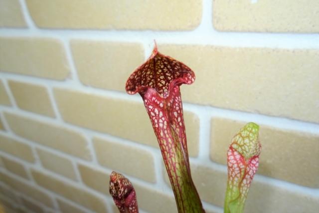 食虫植物9.JPG